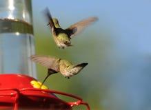 Hummingbirds Feeding. Two hummingbirds feeding at a feeder Royalty Free Stock Image