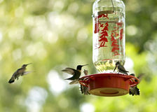 Hummingbirds feeding Royalty Free Stock Photo