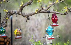 Free Hummingbirds Feeding At Feeders Hanging From Tree Branch Royalty Free Stock Images - 172822739