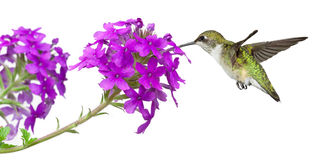Hummingbirds feeds on a verbena. Hummingbirds drinks nectar from a purple verbena; white background stock photo