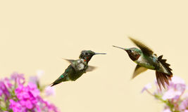 Hummingbirds fighting. Colorful close up image of an elderly, sick looking male ruby throated hummingbird (archilochus colubris) and an adult male in motion Stock Photos