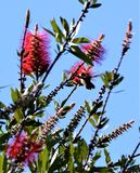 A Hummingbird Visits a Tree Filled with Red Flowers stock photography