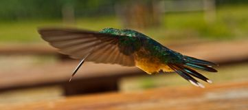 Hummingbirds in flight Stock Images