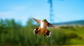 Hummingbirds in flight Stock Photo