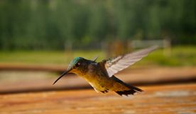 Hummingbirds in flight Stock Image