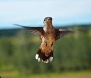 Hummingbirds in flight Stock Images