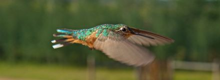 Hummingbirds in flight stock photo