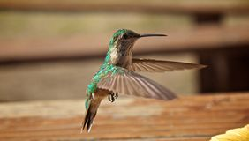 Hummingbirds in flight Royalty Free Stock Photography