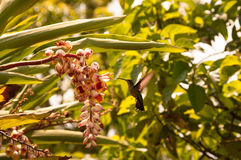 Hummingbirds in flight Royalty Free Stock Images