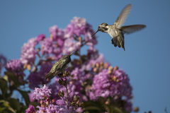 Hummingbirds. In flight and perched, crape myrtle in bloom stock images