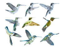 Hummingbirds In Flight_Vector Royalty Free Stock Photos