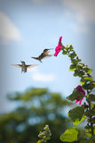 Hummingbirds at a Flower royalty free stock images