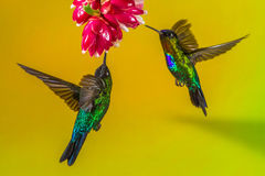 Hummingbirds And Flower. Two Fiery Throated Hummingbirds Feeding On Nectar From Red Flower Royalty Free Stock Photos