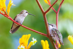 Hummingbirds in the garden Royalty Free Stock Image