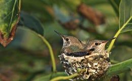 Hummingbirds gniazdeczko zdjęcia royalty free