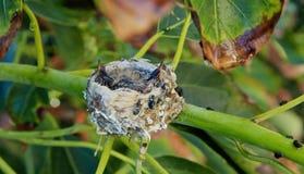 Hummingbirds gniazdeczko obraz stock