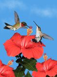 Hummingbirds at Hibiscus Flowers Stock Image