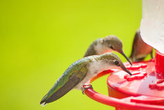 Hummingbirds home for dinner Stock Images