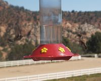 Hummingbirds. Hover at a feeder in Utah Stock Photo