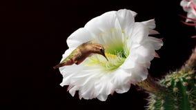 Hummingbirds karmi na kwitnienie kwiatach zbiory wideo