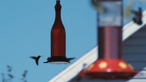 Hummingbirds karmi przy dozownikami zdjęcie wideo