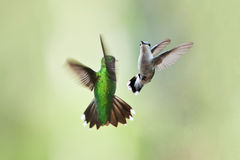 Hummingbirds mating dance Royalty Free Stock Image