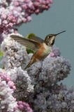 Hummingbirds, natures jewels Stock Images