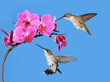 Hummingbirds at Orchids Stock Image