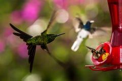 Action, animal, avian, avifauna, beak, beautiful, beauty, bird, birding, birds, brazil, closeup, colibri, colombia, color, colorfu. Hummingbirds with royalty free stock images