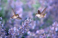 Hummingbirds over background of purple flowers Royalty Free Stock Photos