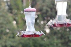 Hummingbirds på förlagematare Arkivbild