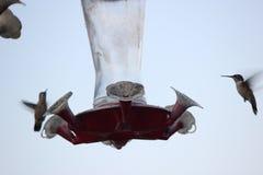 Hummingbirds på förlagematare Royaltyfri Foto