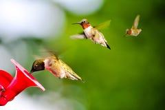 Hummingbirds przy dozownikiem zdjęcia royalty free