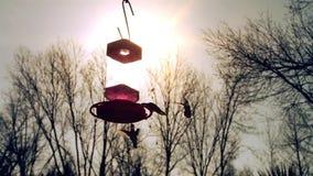 Hummingbirds Przy zmierzchem zbiory wideo