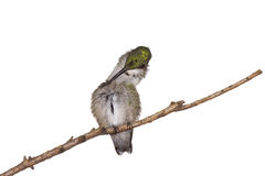 Hummingbirds relaxes on a branch. Hummingbird preens herself while perched on a branch; white background stock photos