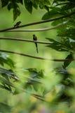 Hummingbirds siedzi na gałąź drzewo, hummingbird od tropikalnego tropikalnego lasu deszczowego, Peru, ptasi tyczenie zdjęcia royalty free