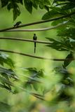 Hummingbirds siedzi na gałąź drzewo, hummingbird od tropikalnego tropikalnego lasu deszczowego, Peru, ptasi tyczenie obraz royalty free