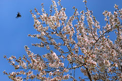 Hummingbirds in the sky and blossoming almond tree Royalty Free Stock Image
