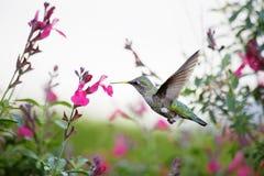 Hummingbirds Stock Images