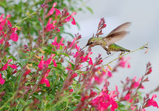 Hummingbirds stock photo