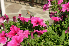 Hummingbirds sucking the pink bellflowers Stock Images