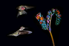 Hummingbirds with tropical flower over black background Royalty Free Stock Image