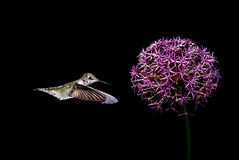 Hummingbirds with tropical flower over black background Royalty Free Stock Photo