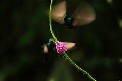 Hummingbirds w komarnicie zdjęcia royalty free