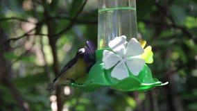 Hummingbirds woda pitna i trzepotać zbiory wideo