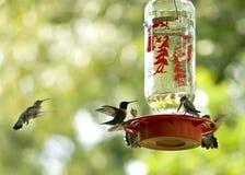 hummingbirds zasilania zdjęcie royalty free