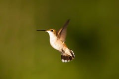 Hummingbrird in volo Immagine Stock