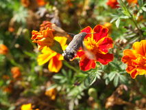 Hummingmoth with the beautiful tail by a red flowe Royalty Free Stock Image