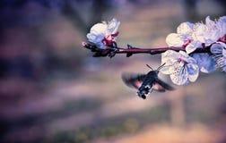 Hummingmoth bestuift een bloem stock fotografie