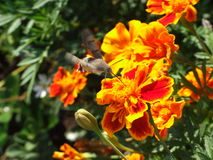 Hummingmoth drinks nectar from a marigold flower Stock Photo